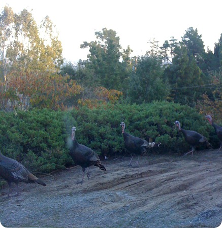 More Turkeys